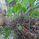 ヤマバトの巣