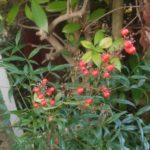 寒さに映える赤い実