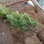 地掘りの植木を鉢上げ