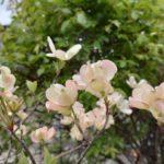 ハナミズキ…ワシントンへ送った桜の返礼